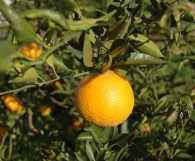 Citrus and Wildlife Exploration at Mixon Fruit Farms